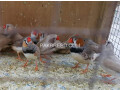 finches-small-0