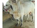 qurbani-bulls-bachrey-behtareen-small-3