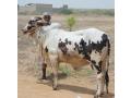 qurbani-bulls-bachrey-behtareen-small-0