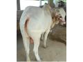 qurbani-bulls-bachrey-behtareen-small-2