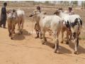 qurbani-bulls-bachrey-behtareen-small-4