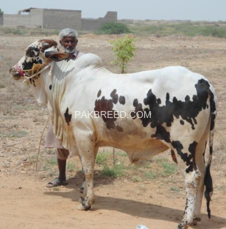 qurbani-bulls-bachrey-behtareen-big-0