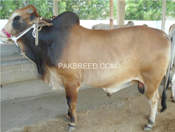 qurbani-bulls-bachrey-behtareen-big-1