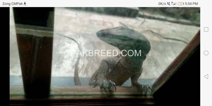 crocodile-monitor-big-2