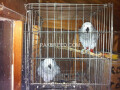 african-grey-parrots-for-sale-small-1