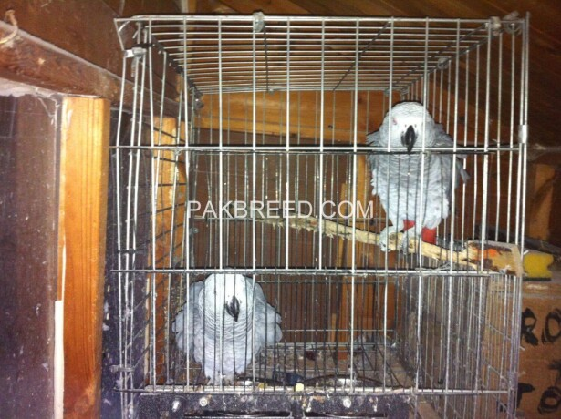 african-grey-parrots-for-sale-big-1