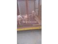 pitbulls-small-4