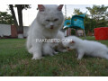 pure-dual-eye-persian-kittens-small-3