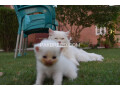 pure-dual-eye-persian-kittens-small-2