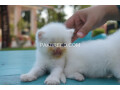 pure-dual-eye-persian-kittens-small-0