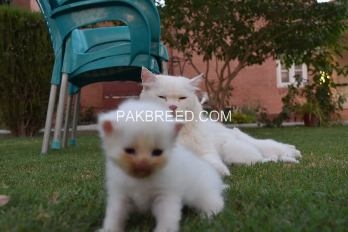 pure-dual-eye-persian-kittens-big-2