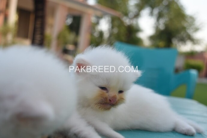 pure-dual-eye-persian-kittens-big-1