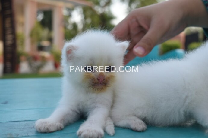 pure-dual-eye-persian-kittens-big-0