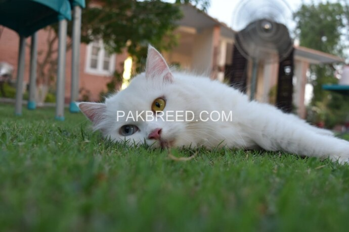 pure-dual-eye-persian-kittens-big-4