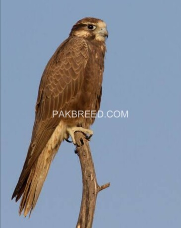 laggar-falcon-big-2