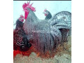 hens-for-sale-small-0