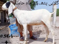 goat-for-sale-small-0