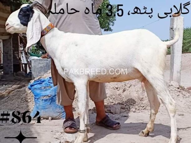 goat-for-sale-big-0