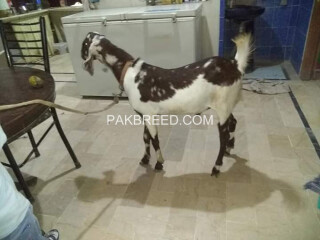 Bakra ready for Qurbani