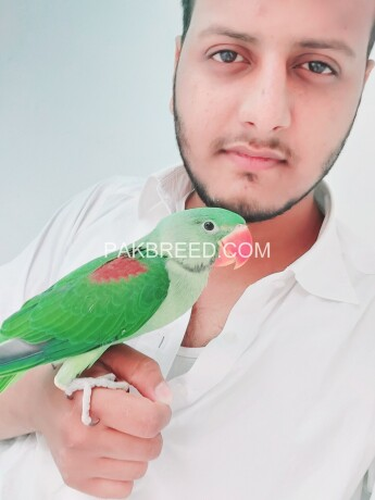 raw-parrot-for-sale-big-0