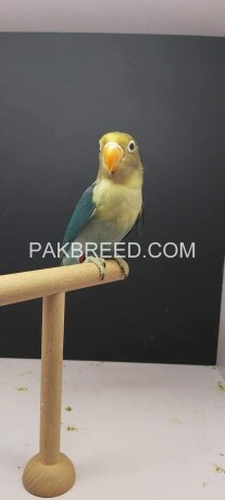 parrot-for-sale-big-0