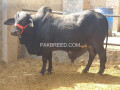 qurbani-bull-for-sale-small-0