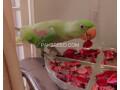 pahari-alexander-parrot-small-1