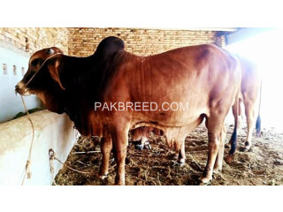 Qurbani doonda bull for Sale