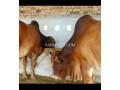 qurbani-doonda-bull-for-sale-small-2