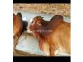 qurbani-doonda-bull-for-sale-small-0