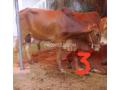 bulls-for-qurbani-small-1