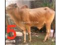 bulls-for-qurbani-small-3