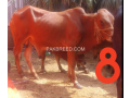 bulls-for-qurbani-small-2