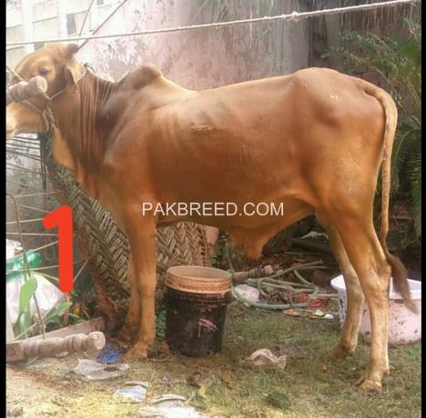 bulls-for-qurbani-big-4