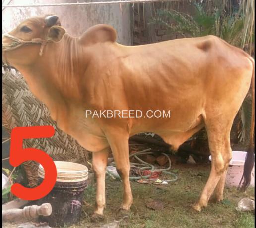 bulls-for-qurbani-big-3