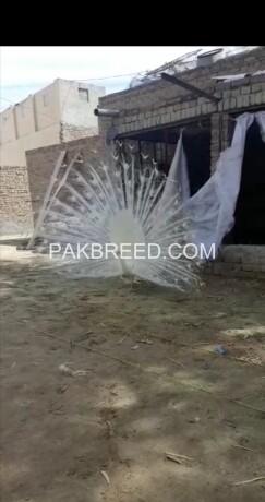 selling-peacocks-pair-big-1