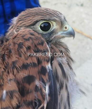 eagle-chicks-in-muzaffarabad-big-0