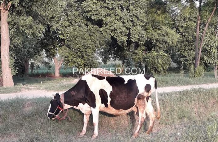 cow-for-sale-big-0