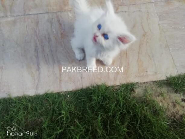 persian-cat-big-0