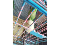 ring-neck-parrot-small-2