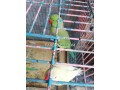 ring-neck-parrot-small-0