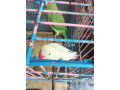 ring-neck-parrot-small-1
