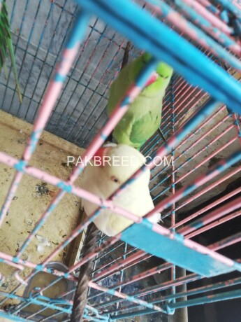 ring-neck-parrot-big-2