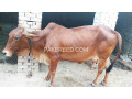 red-cow-for-qurbani-small-1