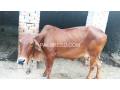 red-cow-for-qurbani-small-0