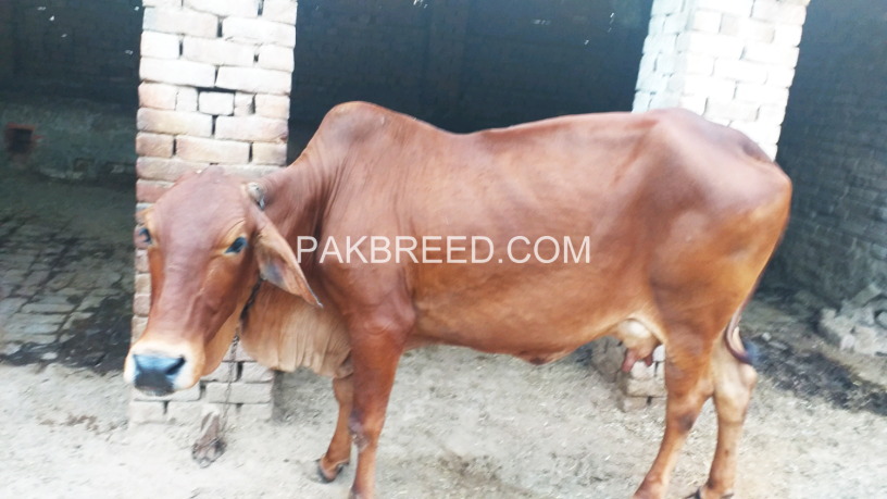 red-cow-for-qurbani-big-0