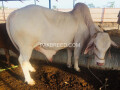 nukra-pure-white-breed-with-blue-eyes-bull-qurbani-small-0