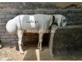 qurbani-for-sale-small-0