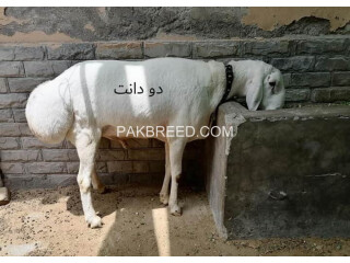 Qurbani for sale