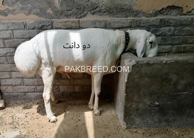 qurbani-for-sale-big-0